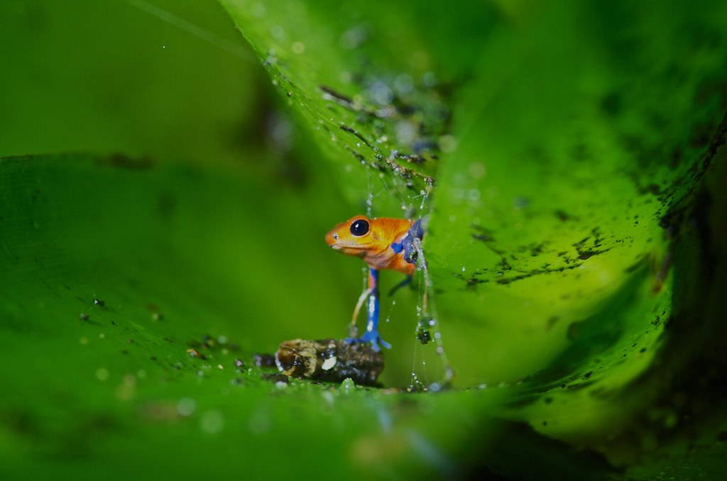 Grenouille Costa Rica the world's most recently posted photos of dendrobates and