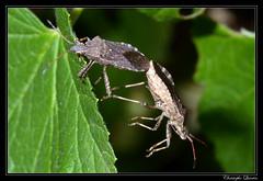 Ceraleptus gracilicornis (cquintin) Tags: arthropoda coreidae heteroptera macroinsectes gracilicornis ceraleptus