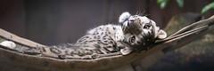funny snow leopard (Cloudtail the Snow Leopard) Tags: zoo wuppertal tier animal mammal säugetier katze cat groskatze raubkatze big schneeleopard snow leopard panthera uncia irbis cloudtailthesnowleopard
