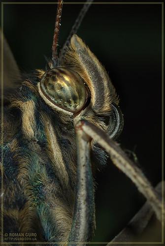 Портрет бабочки тропической