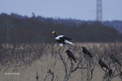 Steller's Sea Eagle  (Alpha 2008) Tags: winter nature birds japan hokkaido wildlife sony birding   alpha     bif    northernjapan