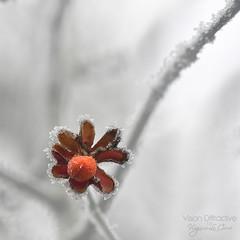 Frozen II ((Virginie Le Carré)) Tags: winter flower fleur frozen hiver naturallight bud lumièrenaturelle bouton givré d800e