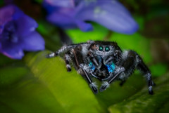 Black and Blue (kathybaca) Tags: world blue hairy macro cute male nature insect spring jump eyes spiders small fast bugs planet predator regal jumpingspider phid phids