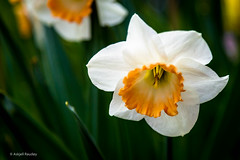 Daffodil (Askjell's Photo) Tags: flower norway norge no daffodil volda narcissus sunnmre pseudonarcissus noreg mreogromsdal