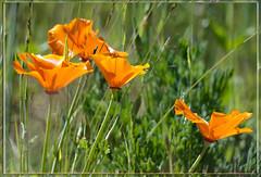 California Poppies & Utah Sunshine (Karen McQuilkin) Tags: flowers wild summer orange open karenmcquilkin califoniapoppiesutahsunshine
