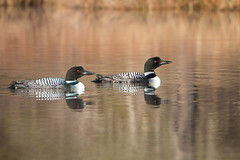 Double Loons (NicoleW0000) Tags: ontario canada reflection bird nature water reflections photography golden watching hour loons waterfowl common