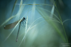 libres comme l'air (zakia hadjadj) Tags: macro up insect close macrophotography calopteryx zakia macrophotographie hadjadj zakigraphies