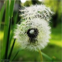 Goodbye! (nathaliedunaigre) Tags: light macro nature evening lumire details dandelion soir graines pissenlit dtails