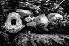 the three tenors (Zesk MF) Tags: bw white 3 fish black water animals singing singer koi fishface tenors zesk tenre