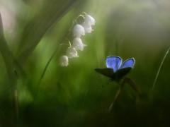 Convalaria majalis + mariposa (luisotespi69) Tags: naturaleza flores insectos flora animales mariposas vegetacin convalaria