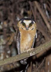 cabur-acanelado (Aegolius harrisii) (claudio.marcio2) Tags: bird nature wildlife natureza ave owl coruja passaro