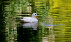 Duck! (Mukumbura) Tags: bird reflections duck spring colours wildlife waterbird wells somerset ripples wildfowl bishopspalace pekinduck
