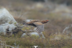 Red Grouse (Thomas Winstone) Tags: red wild bird nature birds wales wildlife feathers feather grouse aves breconbeacons bbc birdsinflight moors birdwatcher birdinflight redgrouse avain birdperfect