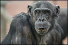 Twycross Chimp 10 (Darwinsgift) Tags: portrait zoo d micro ape chimpanzee nikkor primate f4 warwickshire twycross 200mm