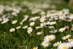 DW-12 (liamworrall) Tags: uk england sun plant blur flower water up closeup weed close may reservoir daisy warwickshire draycote