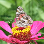 American Painted Lady on Zinnia thumbnail