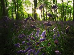 Always worth it (Robyn Hooz) Tags: campanelle blue bells bluebells woods bosco alberi fiori terra sole primavera inghilterra verde green uk westwoods