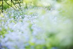 Still remember (/KENTAMA) Tags: blue blur flower garden spring bokeh forgetmenot  nikkor50mmf12 eos6d