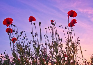 poppies reaching for the sunset