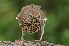 SONG THRUSH / MINSTER / THANET / KENT / U.K (Tom Webzell) Tags: naturethroughthelens