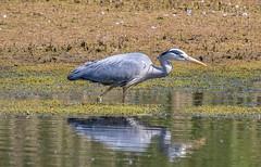 Heron-1-2 (worlknut) Tags: heron birds wildlife flash pennington songbirds