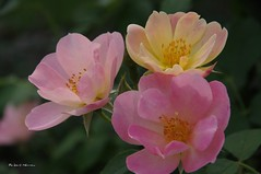 la roseraie du jardin botanique de Montral... / In the rose garden of Montral's botanical garden... (Pentax_clic) Tags: flower robert fleur rose garden juin montreal jardin warren botanique 2016 roseraie imgp4154