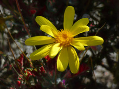 The Lonesome Yellow (Steve Taylor (Photography)) Tags: red newzealand plant flower macro green sunshine yellow closeup spring sunny nelson nz daisy southisland