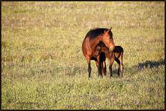 Cavalos - C.Verde - PORTUGAL. (mapecard) Tags: horses cavalos chevaux