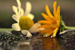 intimacy (joy.jordan) Tags: flowers puddle reflection bokeh 52by52