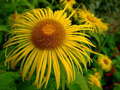 Inula hookeri (yewchan) Tags: flowers flower nature colors beautiful beauty closeup garden flora colours gardening vibrant blossoms blooms lovely inula inulahookeri