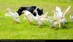 Abergavenny Steam Rally 2016 - Quack Pack (SimonBarclay.com) Tags: uk greatbritain dog nature animals southwales wales britishisles unitedkingdom mammals abergavenny steamrally monmouthshire baileypark quackpack