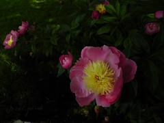 Peony flowers in Balchik botanical garden, Bulgaria (cod_gabriel) Tags: pink flowers blossom peony bulgaria jardimbotnico bloom botanicalgarden hortusbotanicus roz bulgarie jardnbotnico  paeonia ortobotanico flori botanischergarten bulgarije bulgarien dobrudja bujori bulgaristan bugarska  balcsik  bugaria dobrogea dobroudja   ogrdbotaniczny   cadrilater bujor bulgria botanisktrdgrd botanikbahesi    peonyflowers dobruda dobruca dobruja  dobruda   balik balchikbotanicalgarden    dobrudzsa dobrugia dobroedzja dobrudzja     baczik grdinabotanicbalcic baltsjik  kebunbotani bulgarianriviera baltik     rivierablgara