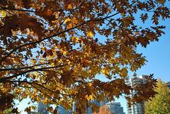 fall_242 (Sascha G Photography) Tags: autumn trees toronto color tree fall leaves leaf nikon seasons waterfront lakeshore indiansummer d60