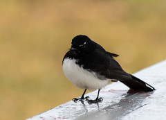 Willie Wagtail saying hello (Merrillie) Tags: bird nature animal fauna outdoors photography nikon natural outdoor wildlife australia nsw newsouthwales centralcoast wagtail woywoy williewagtail d5500 nswcentralcoast centralcoastnsw