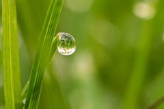 Tautropfen2 (Andreas Hlzl) Tags: wasser tropfen morgentau