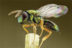 avispa, Hymenoptera, F. Chalcidoidea. Pteromalidae ( Thanks to Jones Bugs and bleu.geo for his help) (dorolpi) Tags: pteromalidae