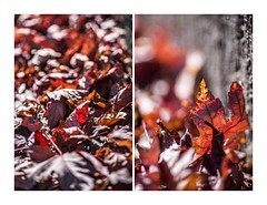Crunch TIme (red stilletto) Tags: autumn light red orange macro yellow bokeh southyarra autumnleaves autumnleaf