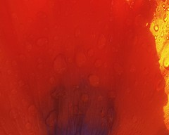 Orange is Still Orange (Flickr Goot) Tags: orange flower water june closeup project samsung galaxy poppy 365 s6 2016 project365