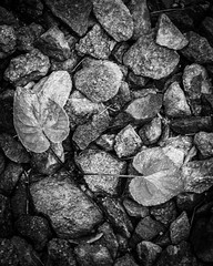 PhotoChallenge - Texture b&w (lclower19) Tags: photochallenge black white bw texture stones leaves