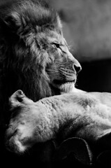 The hug (Adrien-C) Tags: wild blackandwhite bw nature beautiful animal animals lights eyes king noiretblanc bokeh wildlife lion nb lions