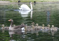 An Orderly Family (Eleanor (No multiple invites please)) Tags: london swan goose goslings regentspark greylaggoose greylaggoslings nikond7200 june2016