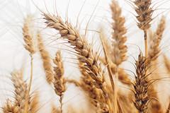 Ears Of Ripe Wheat IV (SplitShire) Tags: plant field rural corn farmers farm wheat elevator grain harvest straw stack rye ear land spine hay flour bundle current chaff placer husbandry ripening ripe stubble threshing sprinkle harvesting futures arable
