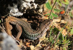 Eating dilemmas? (philos from Athens) Tags: lizard ladybug parnitha picmonkey