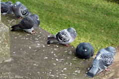 December 14th, 2014 It's cold! (karenblakeman) Tags: uk birds reading december pigeons 2014 readingbridge 2014pad