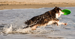 21122014-IMGP3586 (DamZs) Tags: dog chien beach australien plage berger