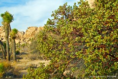Joshua Tree National Park (miss604) Tags: california park walking path walk palmsprings joshuatree parks trail hikes joshuatreenationalpark roamon