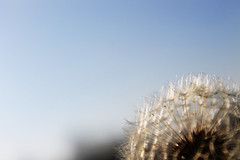 November sun (Fins from Budapest) Tags: november blue autumn sky poland sunny dandelion krakw