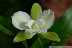 1289 - Epicattleya Siam Jade (Luis_Renato) Tags: jade siam epicattleya