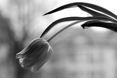 016.365 - 16.01.15 (oana-emilia) Tags: bw white black flower window nature monochrome silhouette blackwhite tulip day16 windowsill 365project shuttersisters womenwhophotography shuttersister day16365 shuttersister365 365the2015edition 3652015 5daysofbw 16jan15