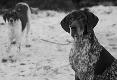 First Snow (psxdadz) Tags: bw snow english pointer german gsp lightroom fuji60mm